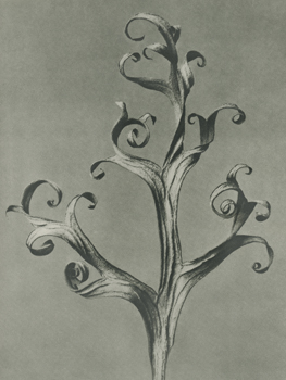 Delphinium Canvas Print by Karl Blossfeldt