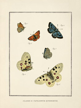 Papilio Coetus Print by The Vintage Collection
