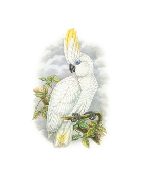 Cacatua Ophthalmica II Fine Art Print by William Hart
