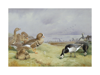 Barnacle Geese Fine Art Print by Archibald Thorburn