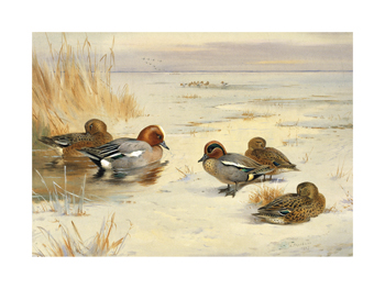 Wigeon and Teal Fine Art Print by Archibald Thorburn