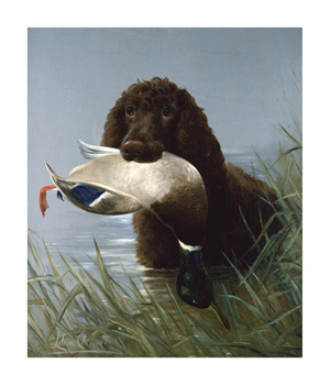 An Irish Water Spaniel Fine Art Print by Lilian Cheviot