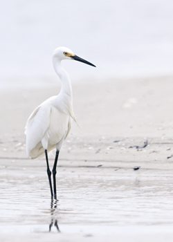 Beach Egret Print by Wink Gaines