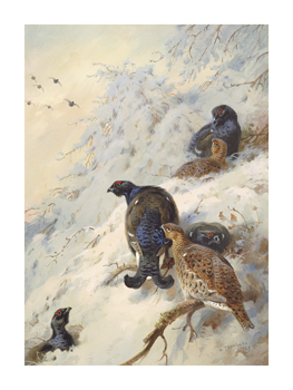 Cock and Hen Black Grouse Fine Art Print by Archibald Thorburn