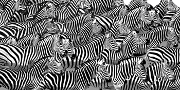 Zebra Collage Print by Mark Chandon