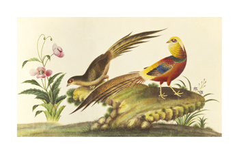 Pheasants Fine Art Print by Anonymous