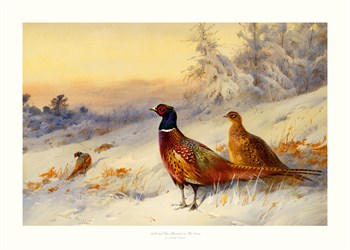 Cock and Hen Pheasant in the Snow Print by Archibald Thorburn