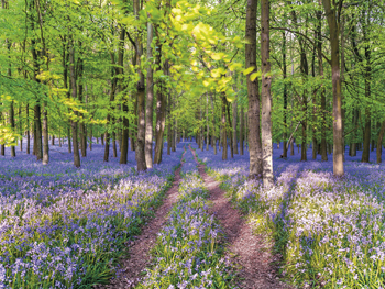 A Bluebell Path Canvas Print by Assaf Frank