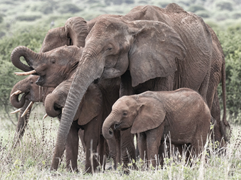 Entourage of Elephants Print by Wink Gaines