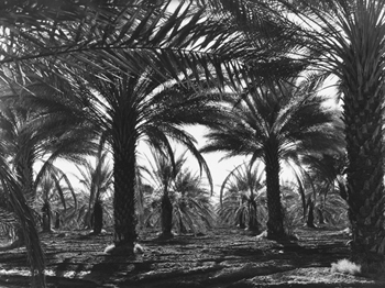 Date Palms, Coachella Valley, California Canvas Print by Dorothea Lange