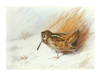 A Woodcock Among Reeds Fine Art Print by Archibald Thorburn
