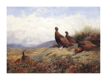 A Group of Red Grouse Fine Art Print by Archibald Thorburn