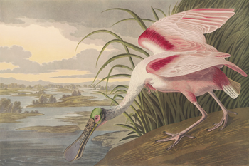 Roseate Spoonbill Print by James Audubon