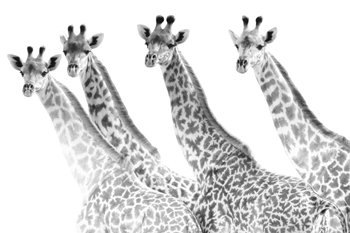 Giraffes in a Row - Bold Canvas Print by Staffan Widstrand