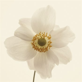 Anemone Print by Bill Philip