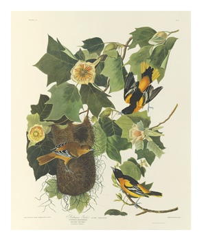 Baltimore Oriole Fine Art Print by James Audubon