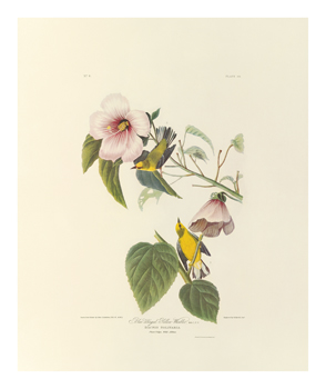 Blue Winged Yellow Warbler Fine Art Print by James Audubon