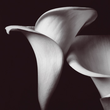 Lily Print by Bill Philip