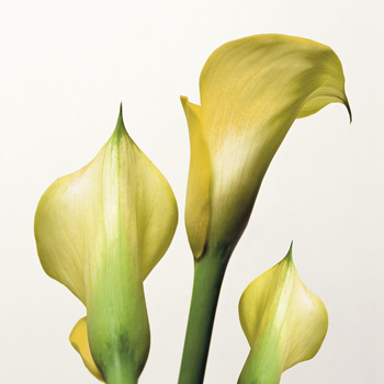 Lily Trio Canvas Print by Bill Philip