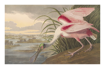 Roseate Spoonbill Fine Art Print by James Audubon