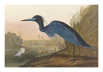 Blue Crane Fine Art Print by James Audubon