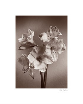 Amaryllis Print by Bill Philip