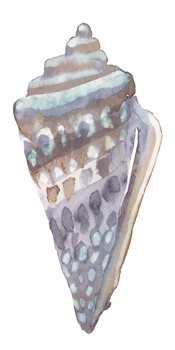 Coastal Seashells - Cone Print by Sandra Jacobs