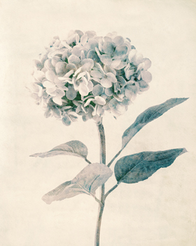 Ethereal Floral III Print by Collezione Botanica
